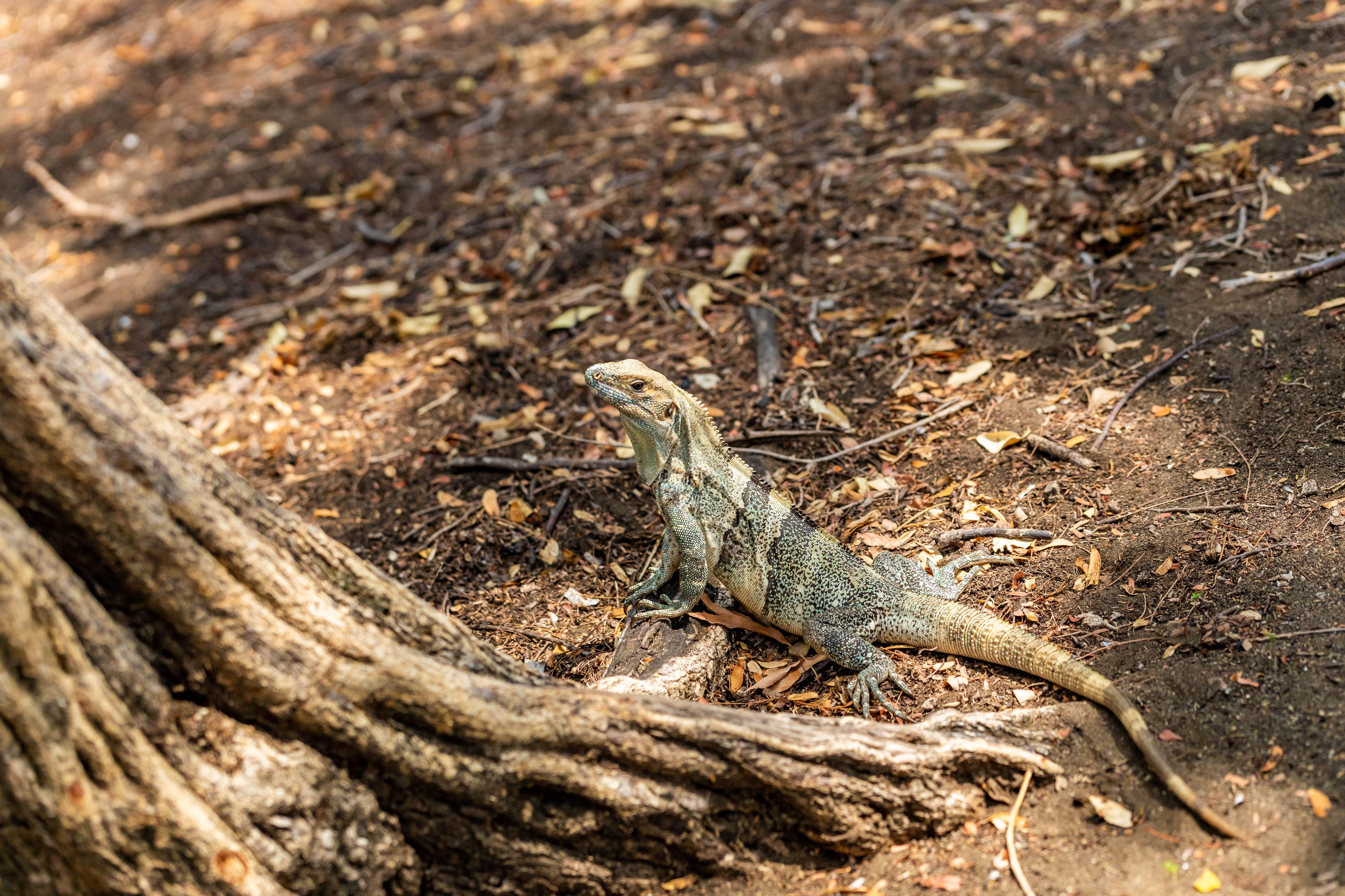 Kostenloses Stock Foto zu garrobo, leguan, reptil, wildes tier
