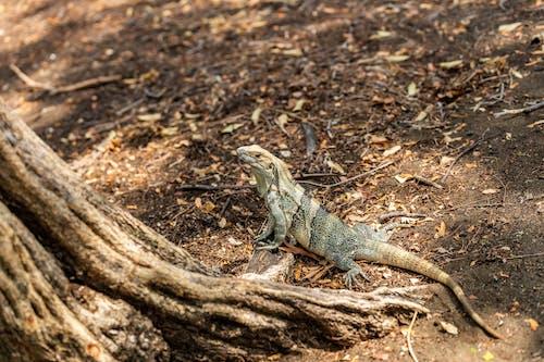 Foto d'estoc gratuïta de animal salvatge, garrobo, iguana, rèptil