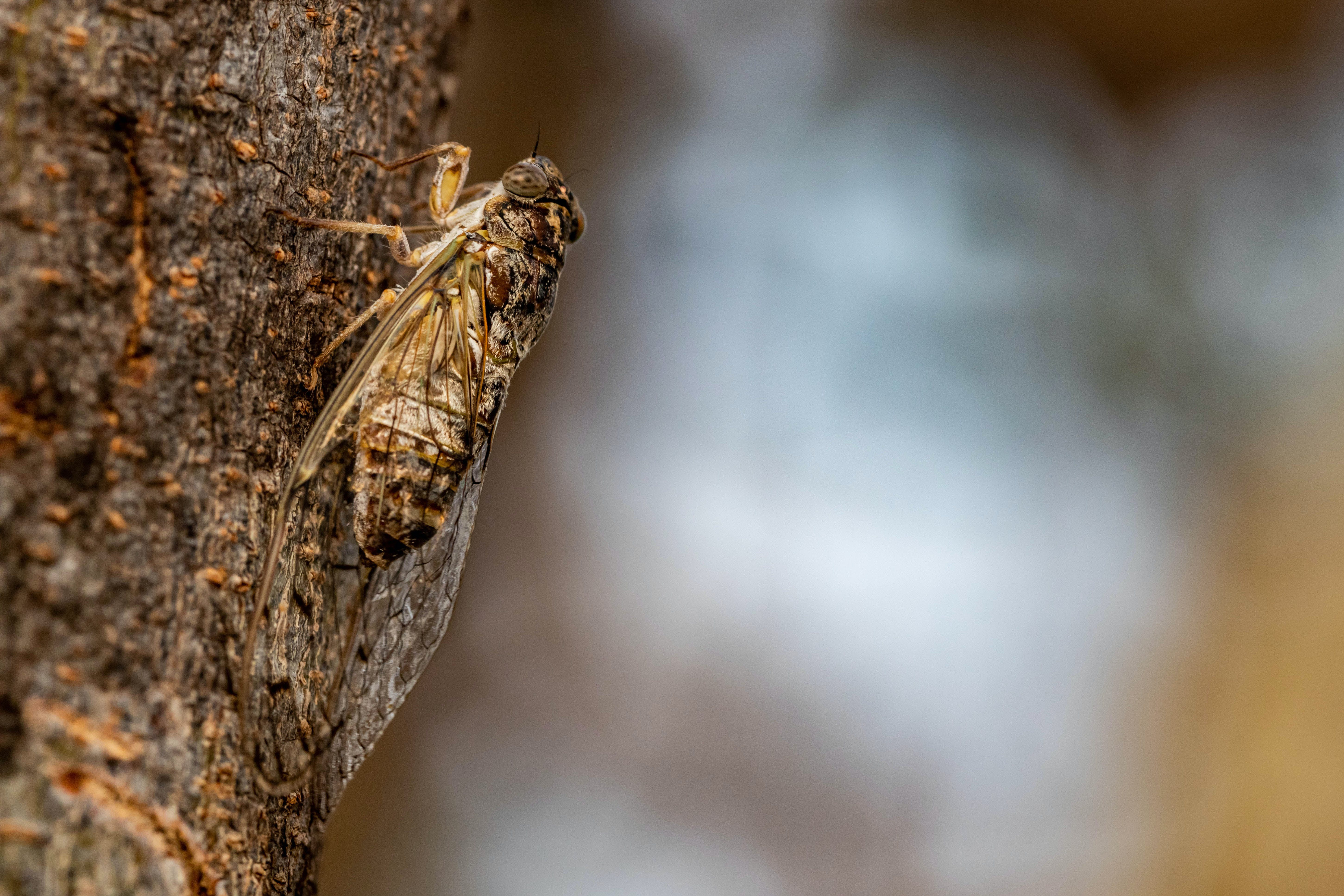 Free stock photo of chicarra, cicadidae, cigarra, insect