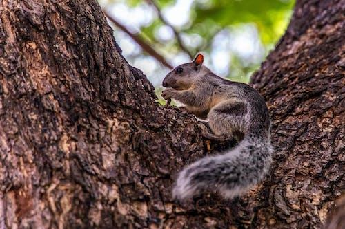 Gratis stockfoto met eekhoorn, wild dier