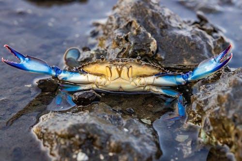 Foto d'estoc gratuïta de cranc, crustaci, fotografia macro, macro