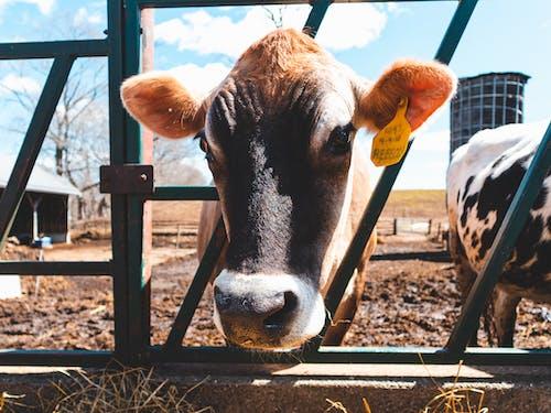 Free stock photo of animals, cow, farm