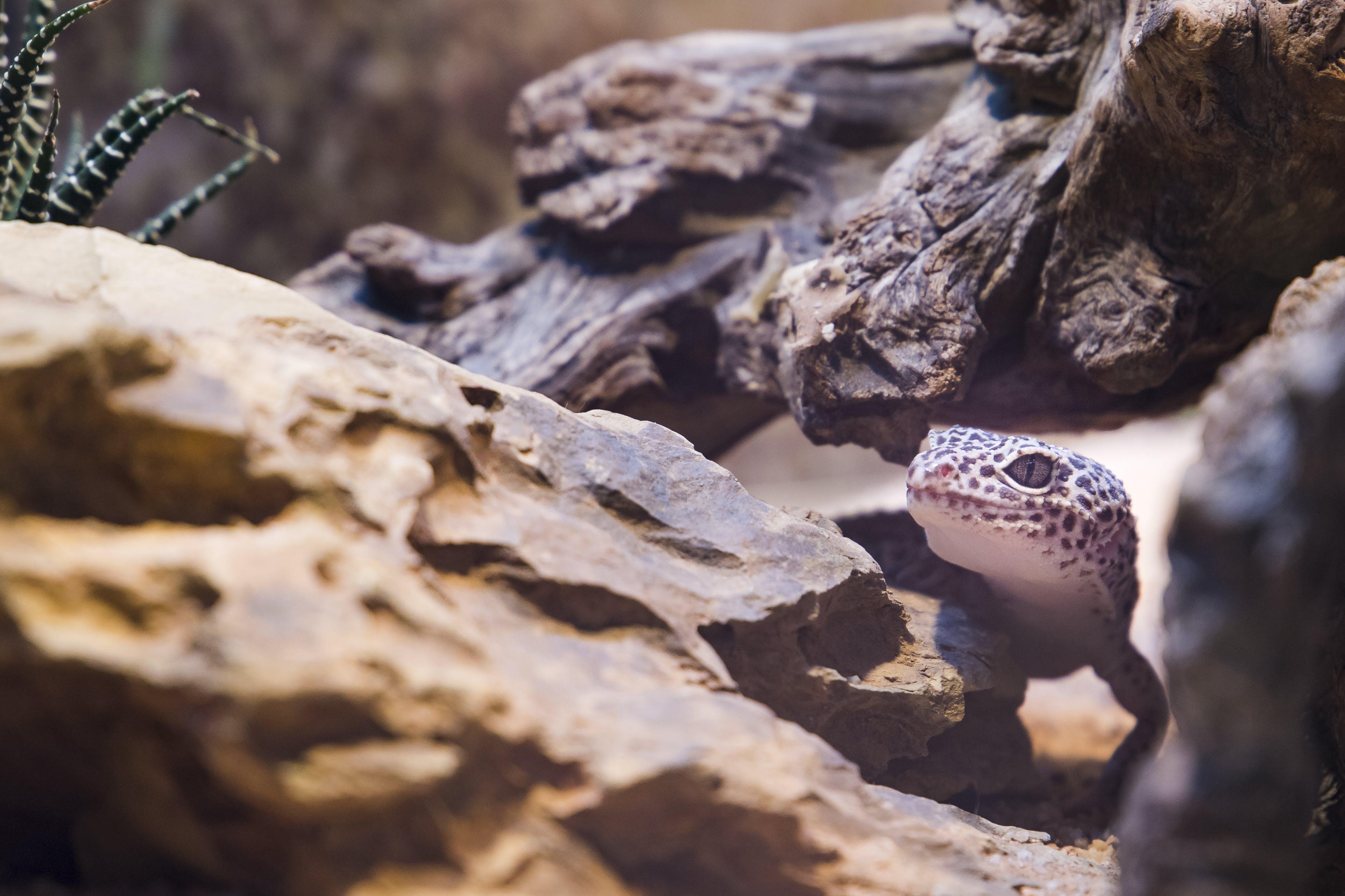 Photos gratuites de gecko