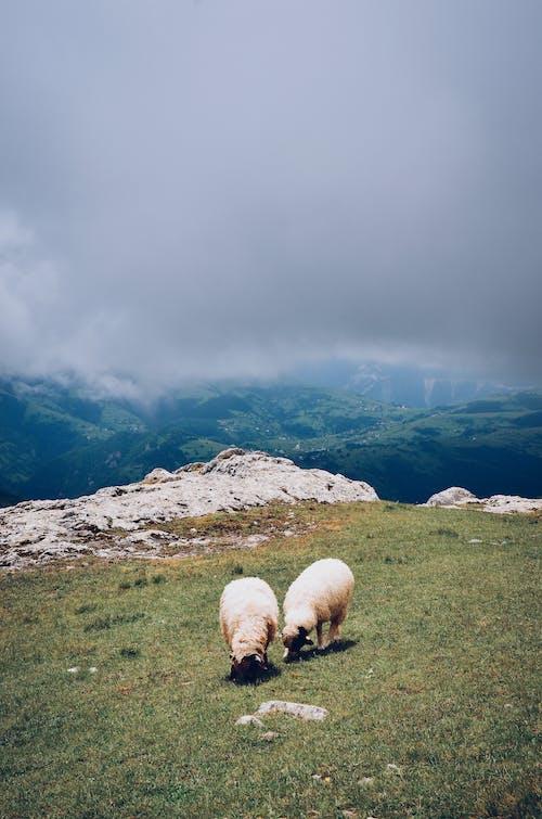 Kostnadsfri bild av bete, boskap, får, jordbruksmark