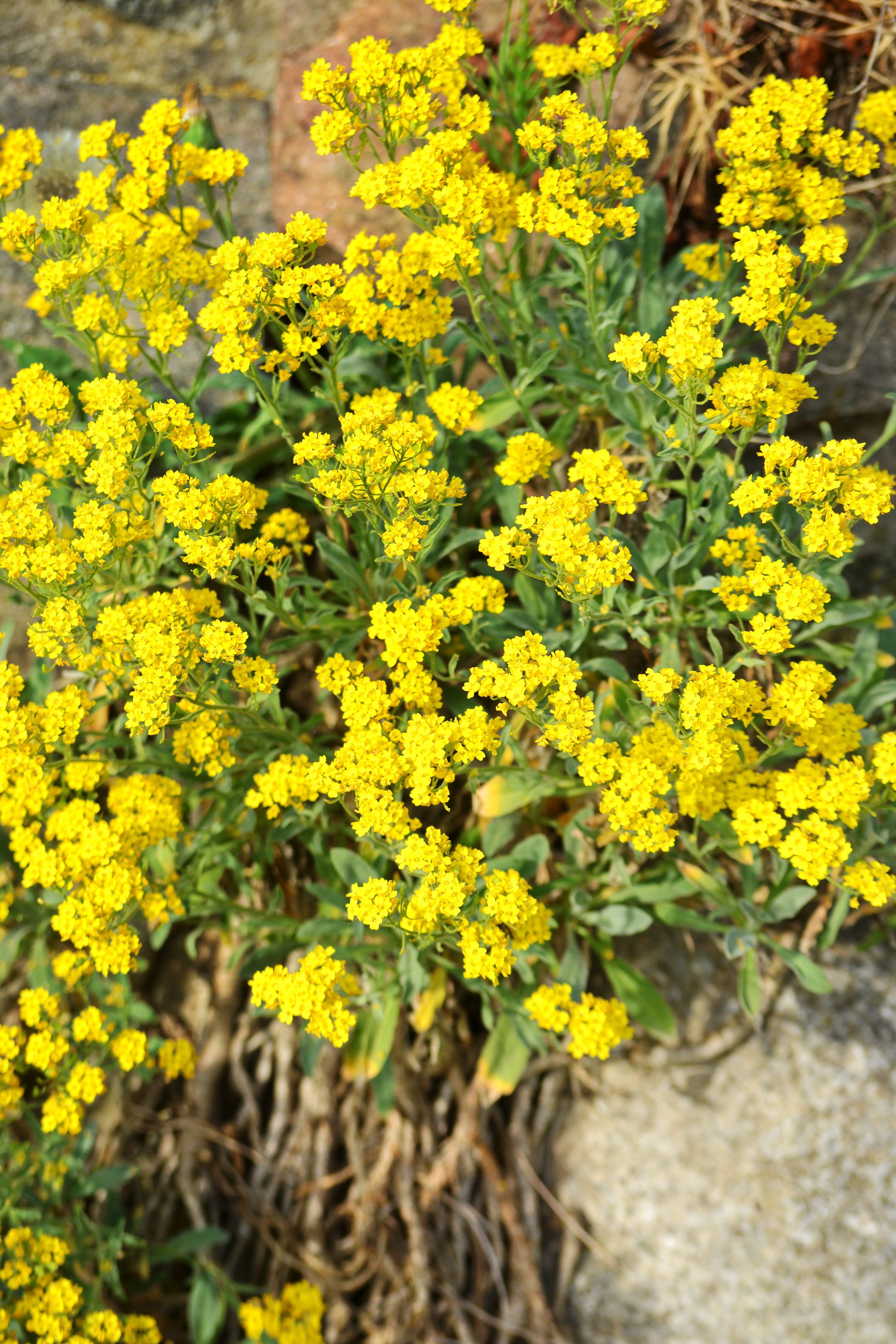 Foto d'estoc gratuïta de flors, flors grogues, fulles, molla