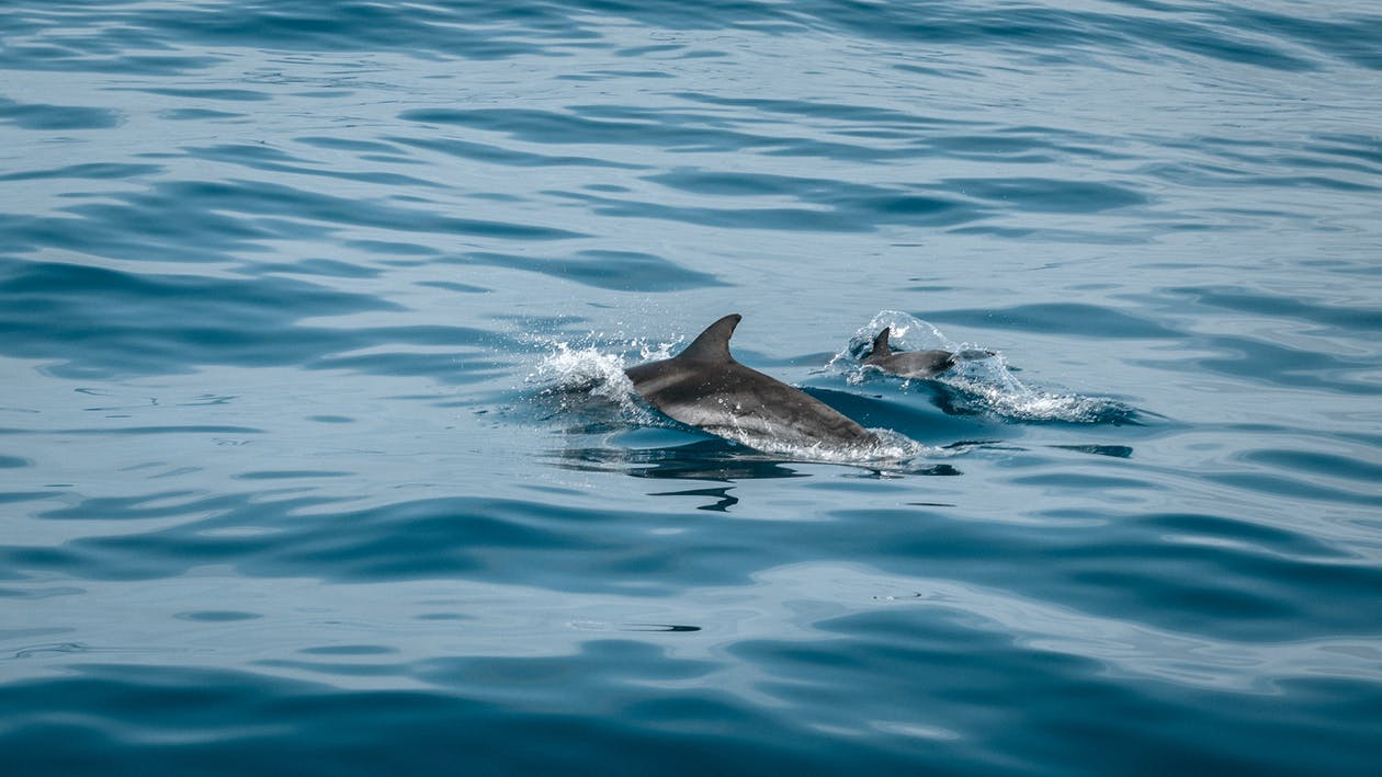 Two Gray Dolphins Surrounded by Body of Water