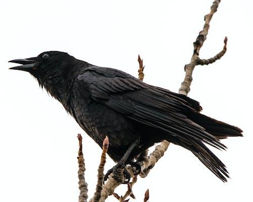 カラス, 鳥の無料の写真素材