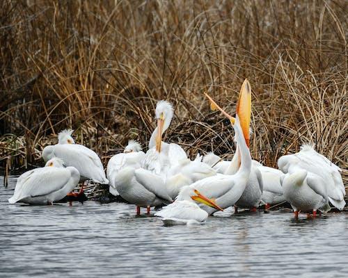 Fotobanka sbezplatnými fotkami na tému pelikány