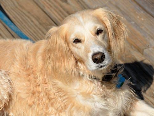 Gratis lagerfoto af dyr, golden retriever, hund, kæledyr