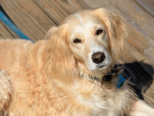 Foto stok gratis anjing, anjing golden retriever, binatang, cute