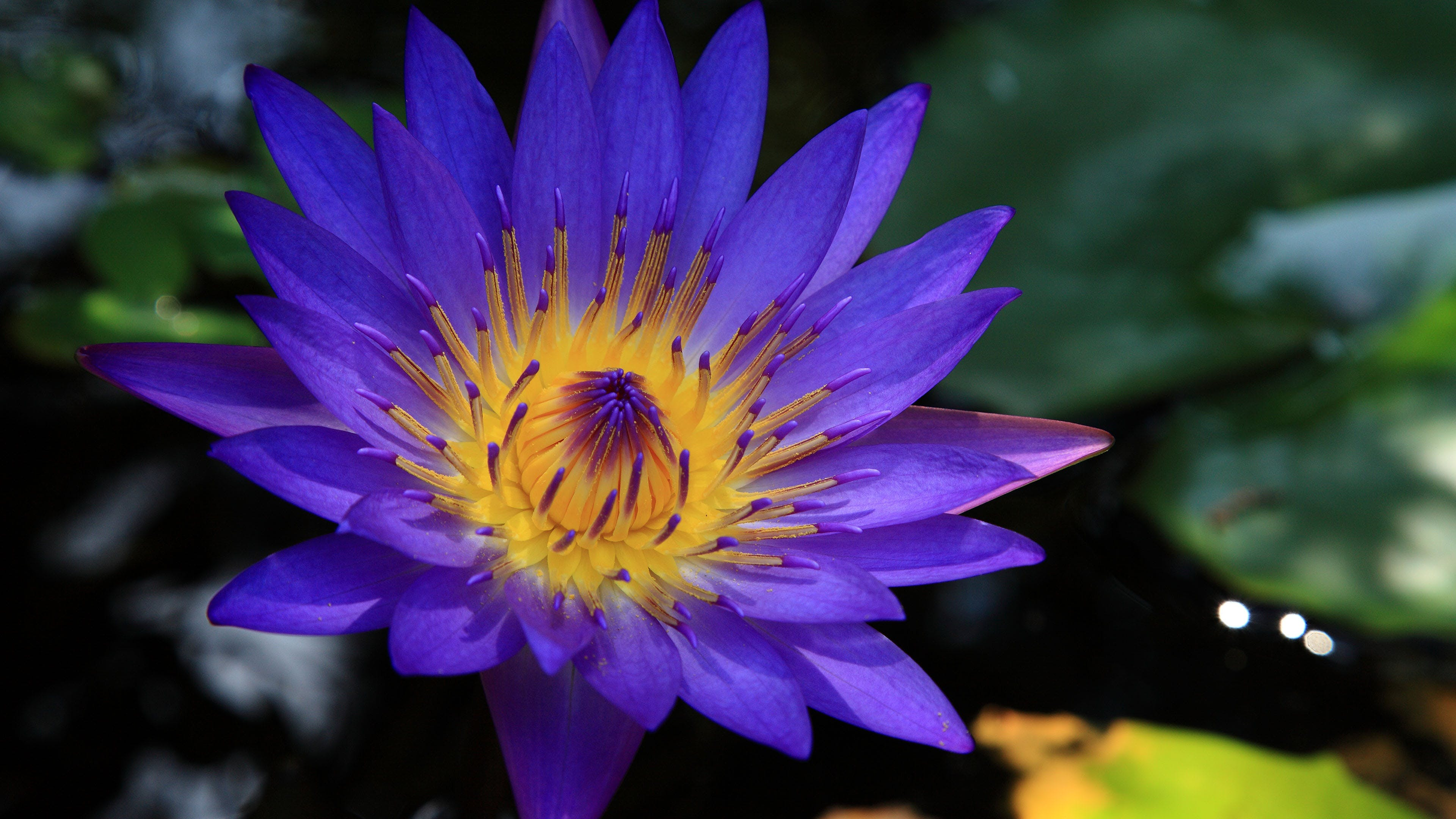 Shallow Focus Photo of Purple and Yellow Water Lily
