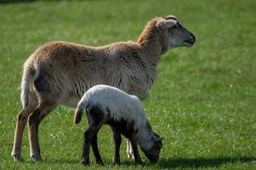 Free stock photo of farm, farm animals, lamb, sheep