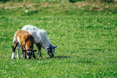 Free stock photo of lamb, lambs