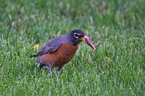 Free stock photo of action, bird, robin, worm