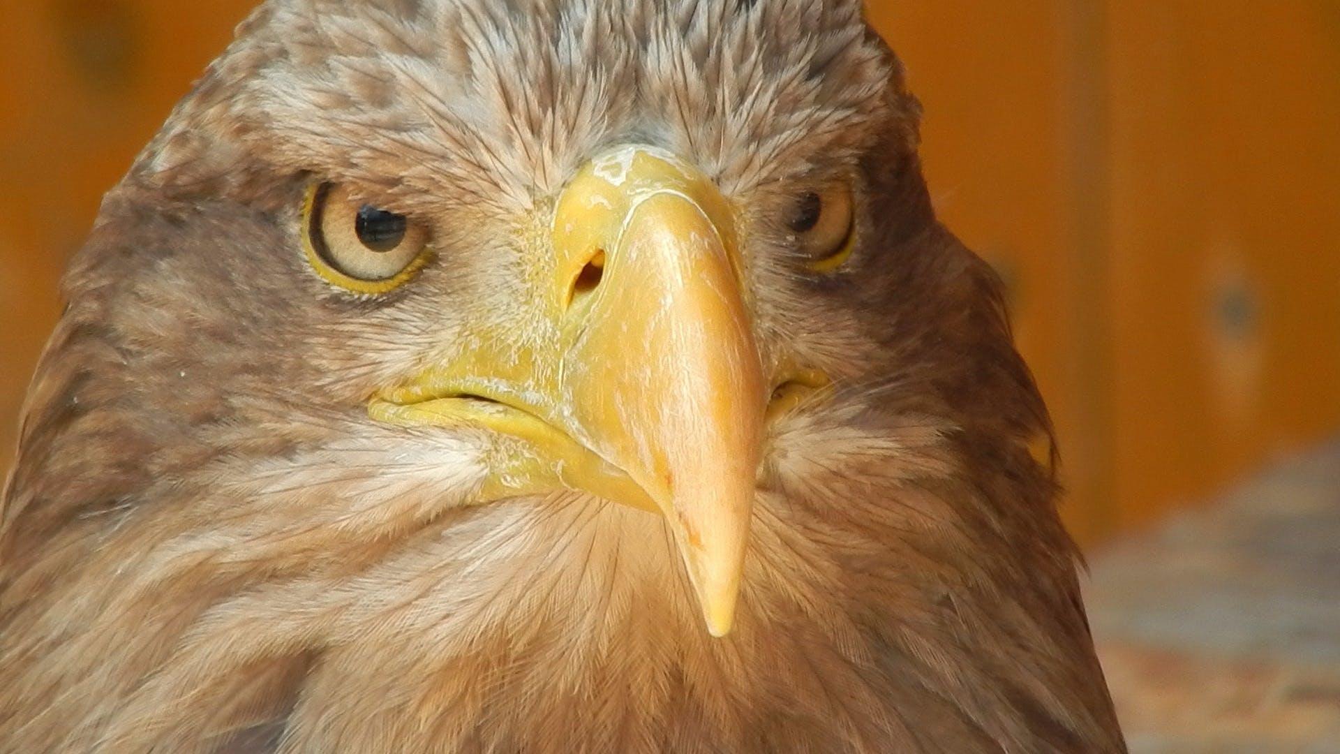 Brown Bald Eagle