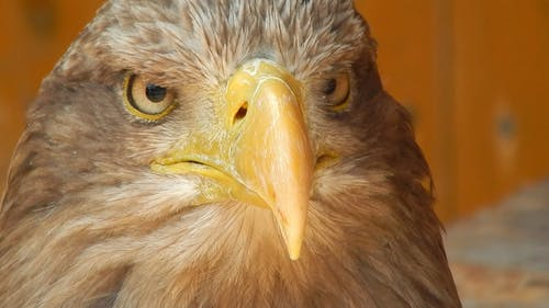 Foto stok gratis binatang, bulu burung, burung elang, elang