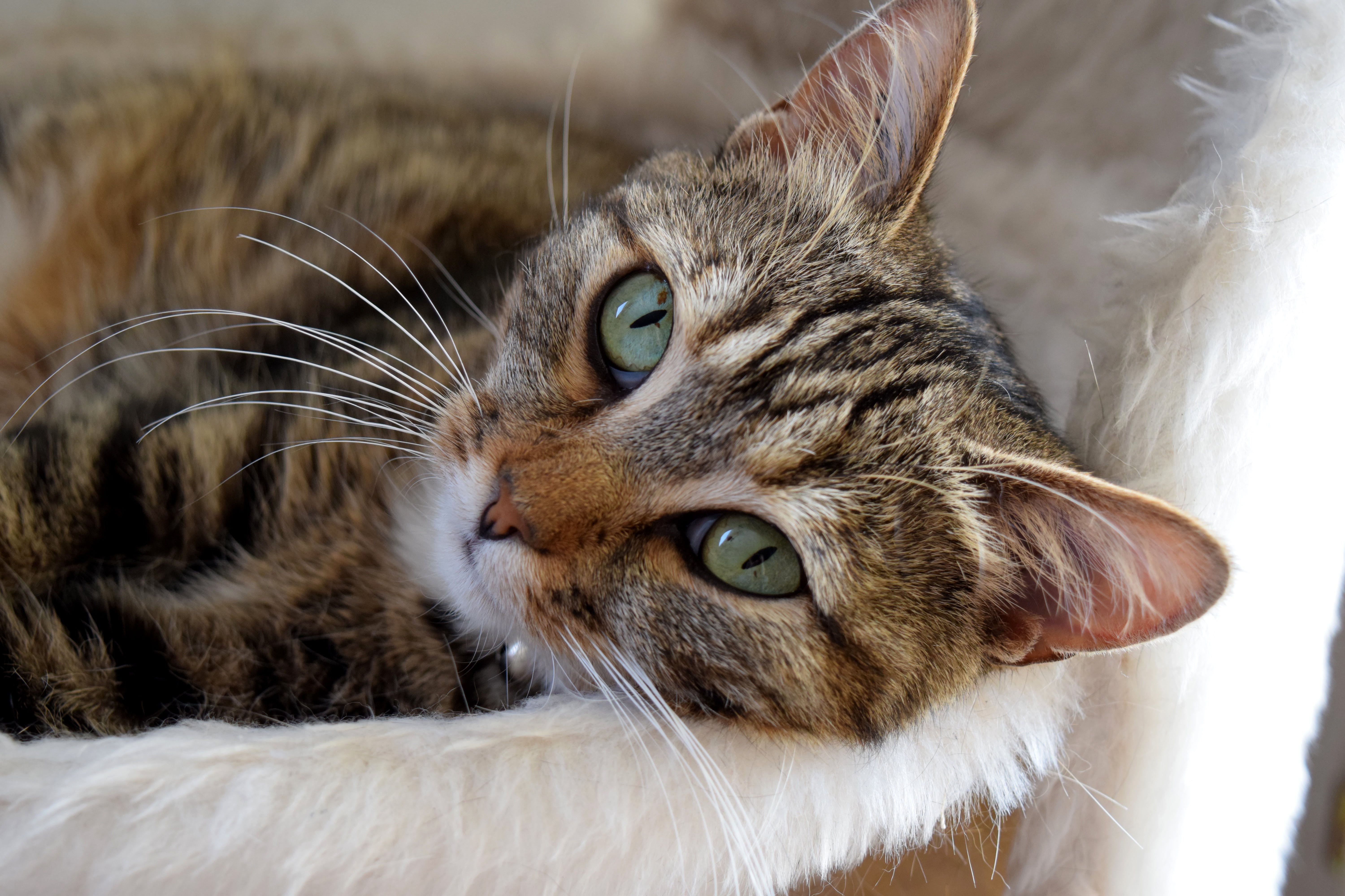 Brown Tabby Cat Lying Down on Bed