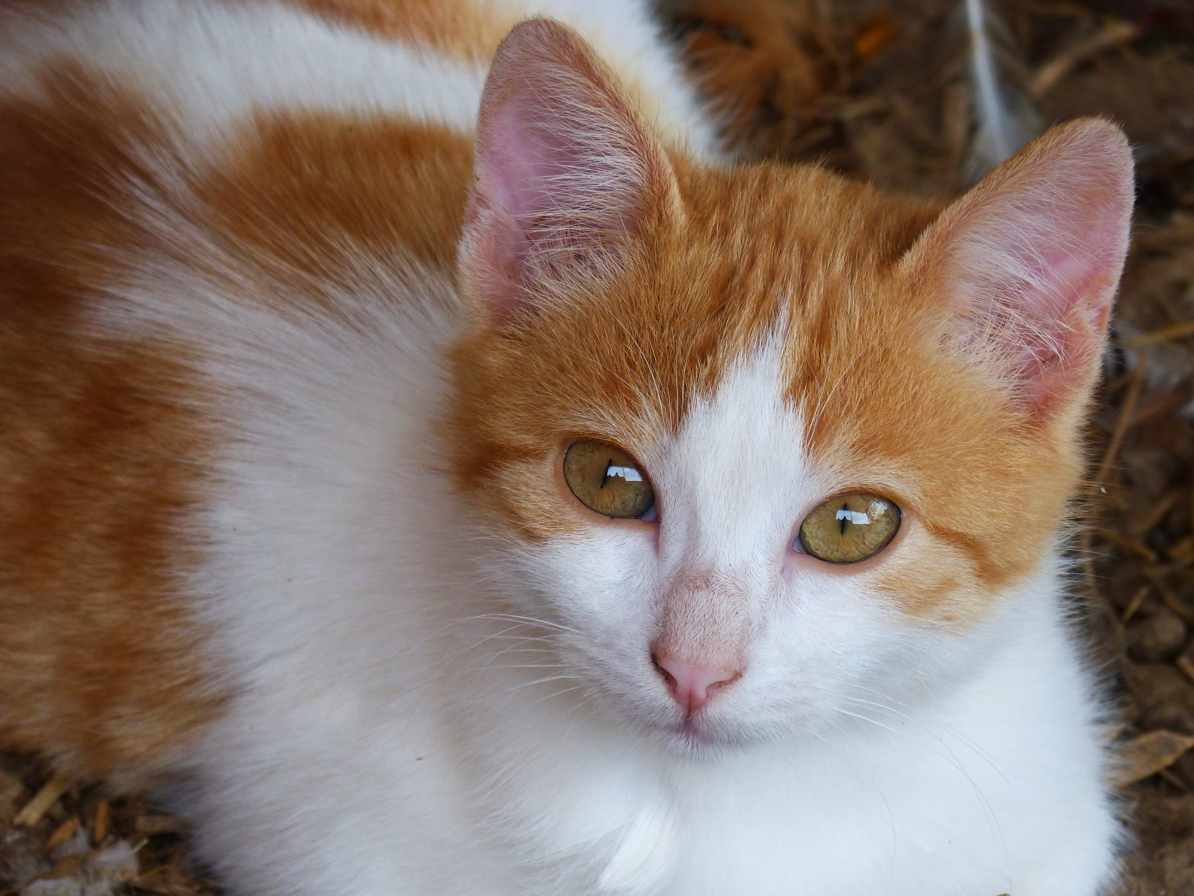 White and Orange Tabby Cat