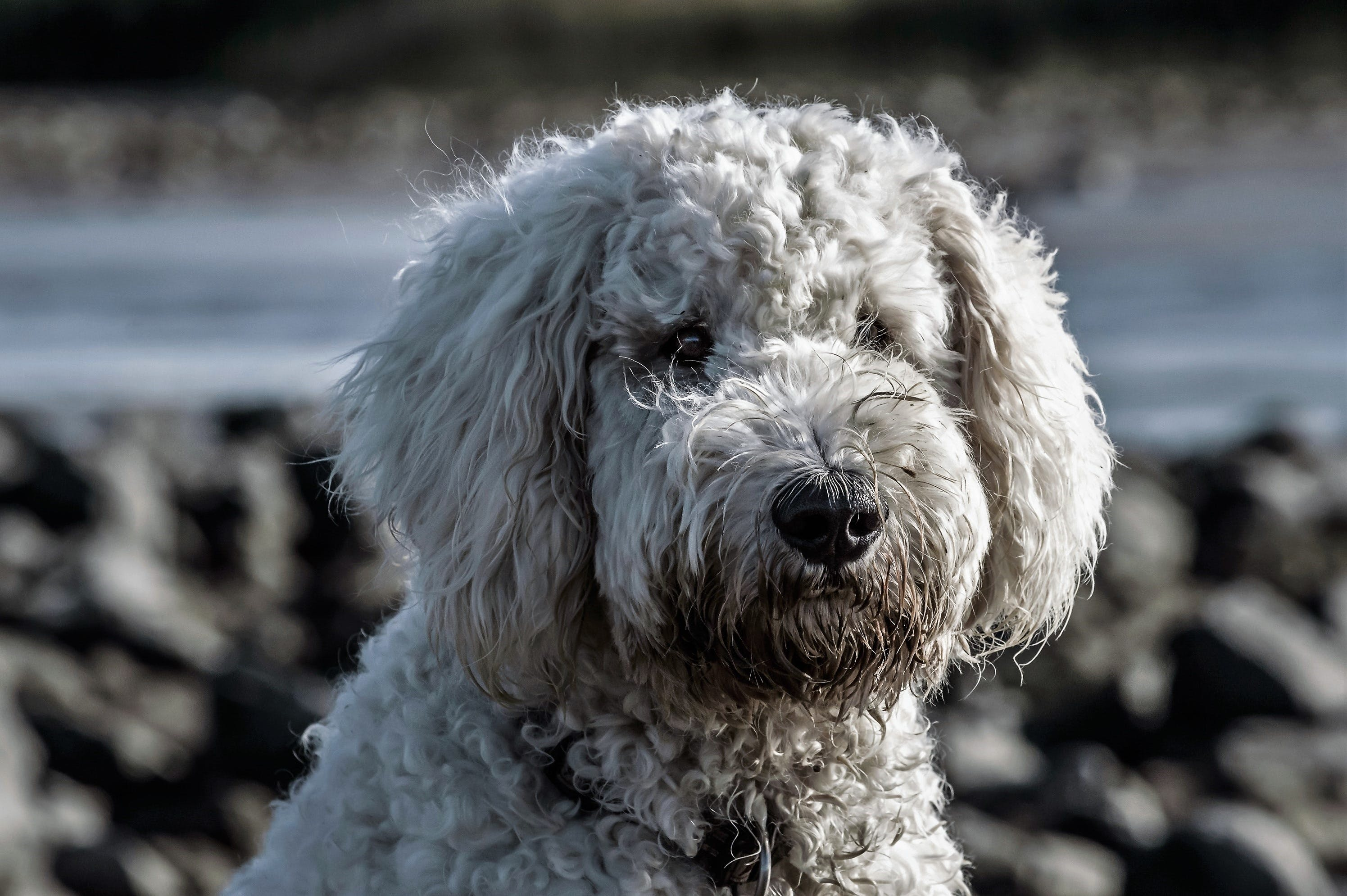 Adult White Toy Poodle on Selective Focus