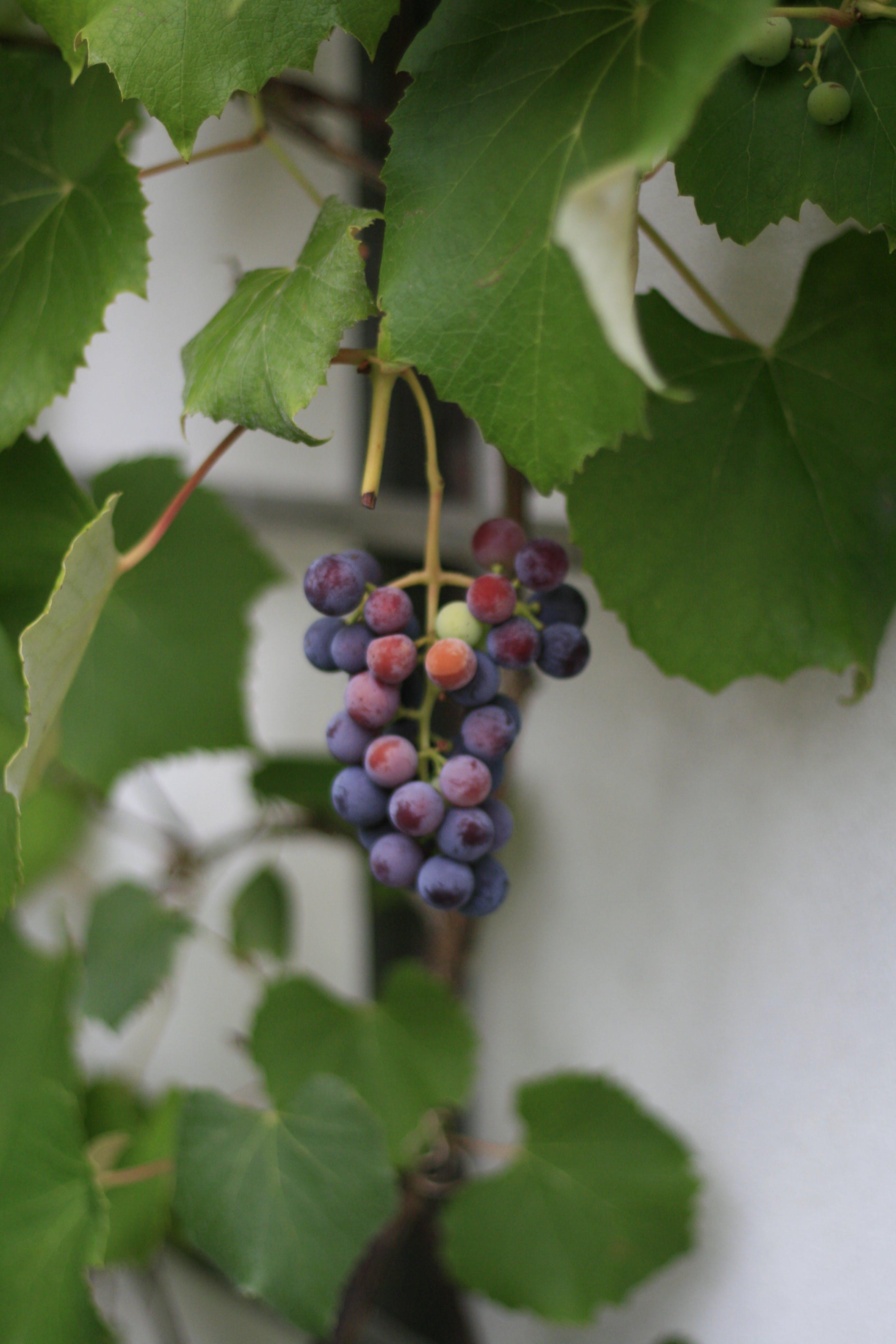 Free stock photo of food, fruit, grape, nature