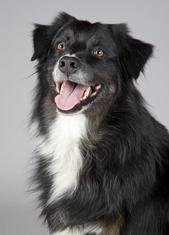 Long-coated White and Black Dog