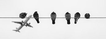 black-and-white, birds, pigeons