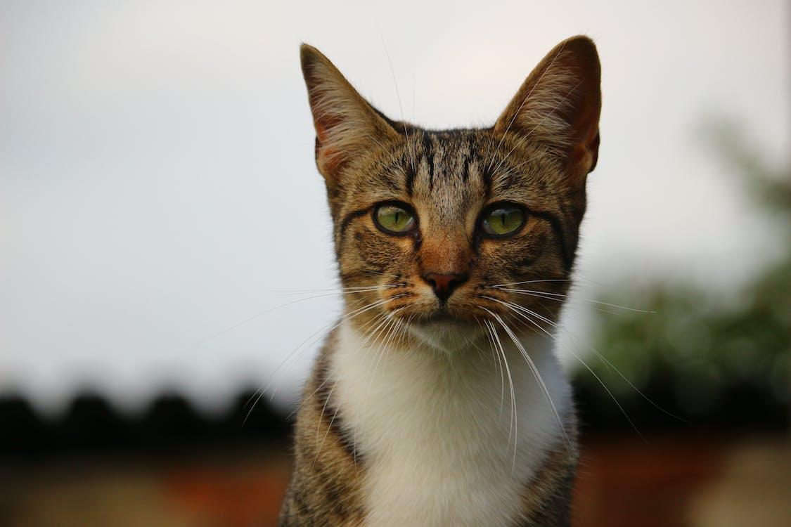 глаза, домашний, домашняя кошка