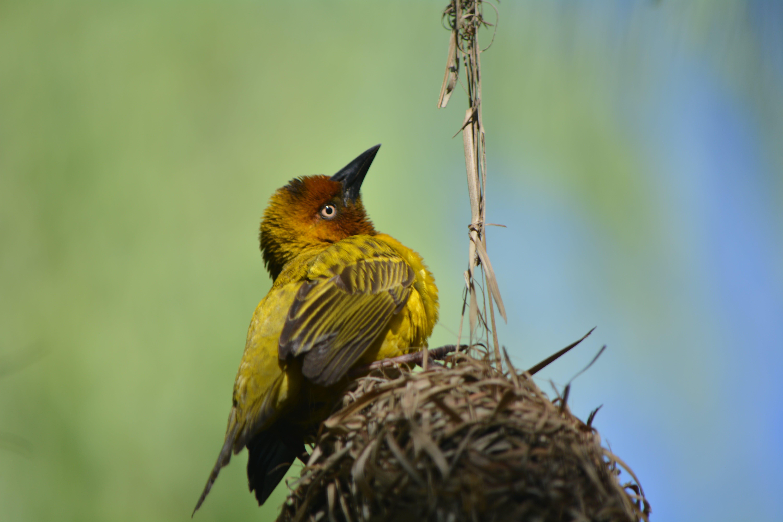 Free stock photo of nature, bird nest, feathered, yellow bird