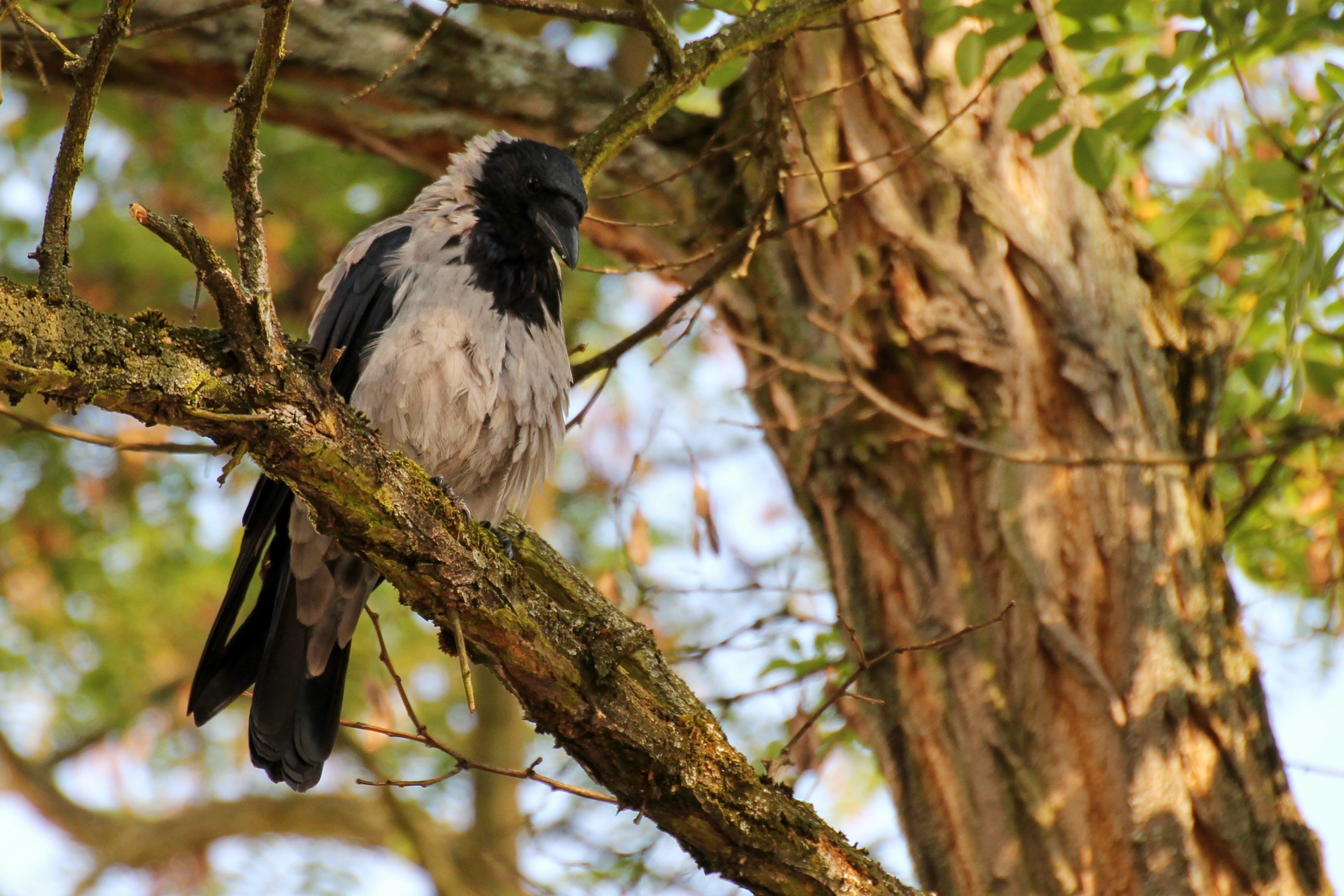 Free stock photo of bird, animal, tree, crow