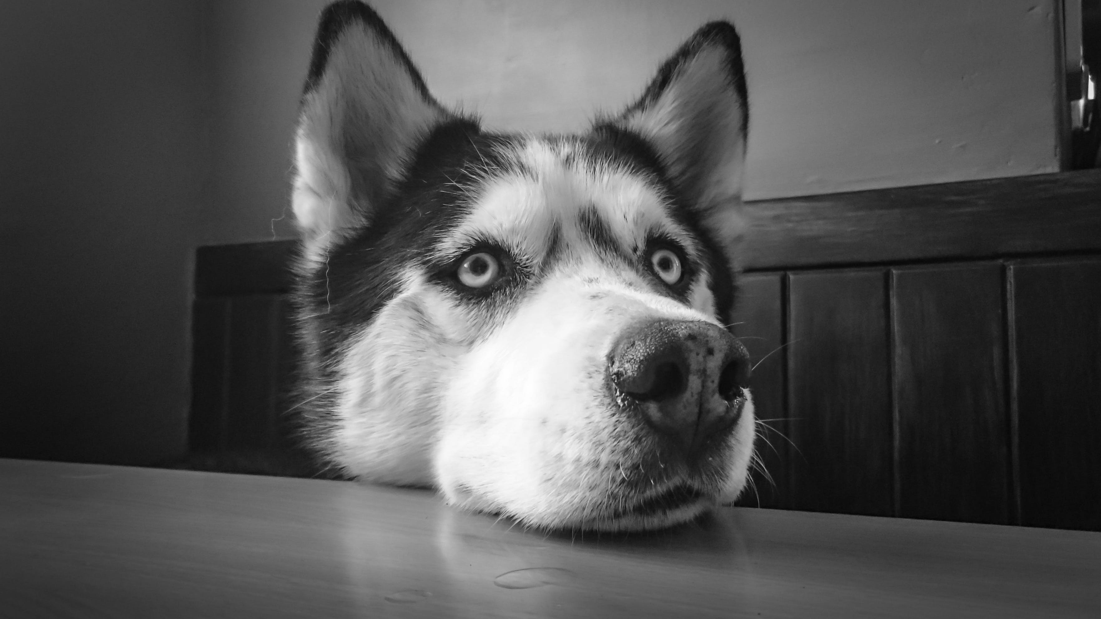 Siberian Husky Leaning on Table