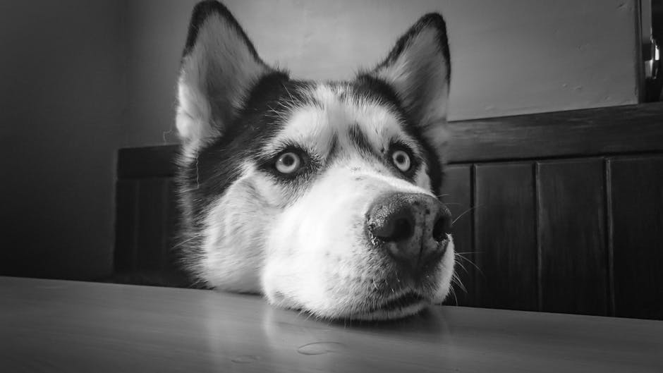 Siberian Husky Leaning on Table