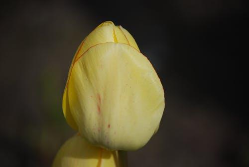 宏觀, 花, 鬱金香, 黃色 的 免费素材照片