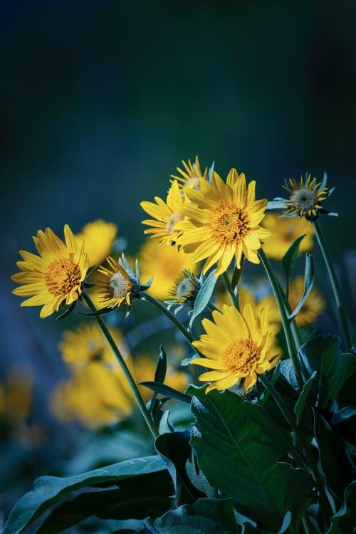 Fotobanka sbezplatnými fotkami na tému balsamroot, kvet, splittone