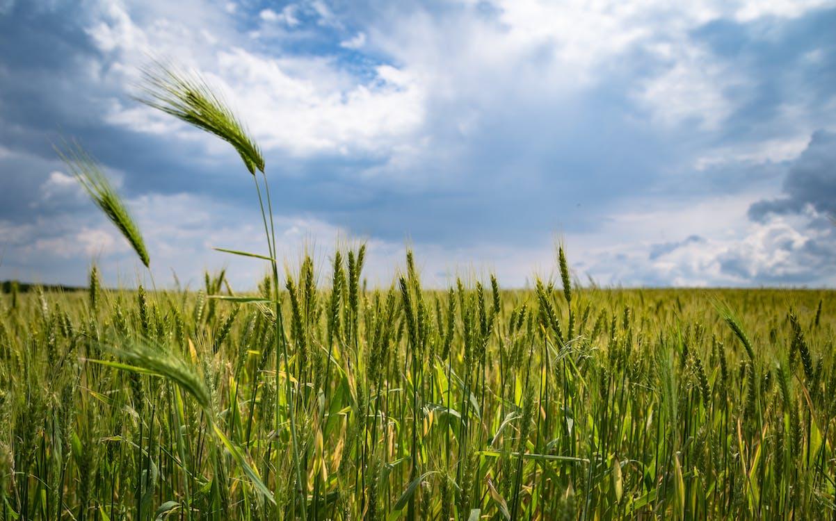 зерновые, небо, облака