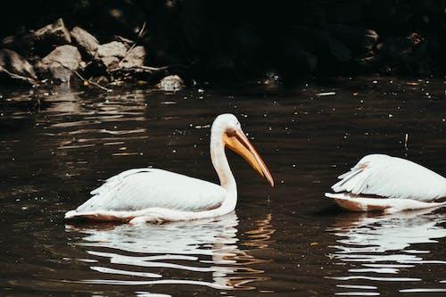 Darmowe zdjęcie z galerii z dzika przyroda, fotografia zwierzęcia, pelikany, pływanie