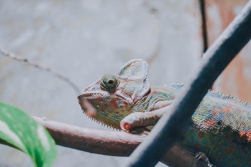 カメレオン, カモフラージュ, 動物, 動物の写真の無料の写真素材