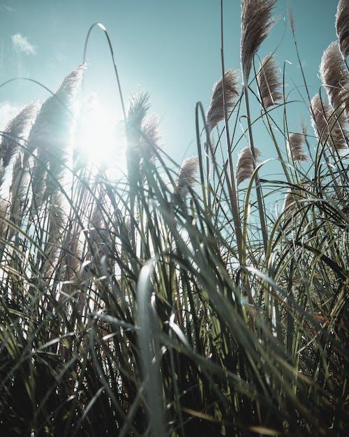 Безкоштовне стокове фото на тему «planta, висока трава, відблиск»