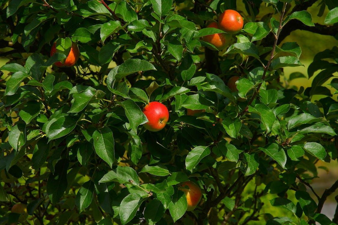 apple, ветвь, вкусный