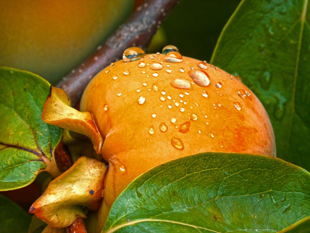 Dew on Apricot Fruit Close-up Photo