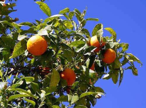 Darmowe zdjęcie z galerii z drzewo, gałęzie, owoce, owoce cytrusowe