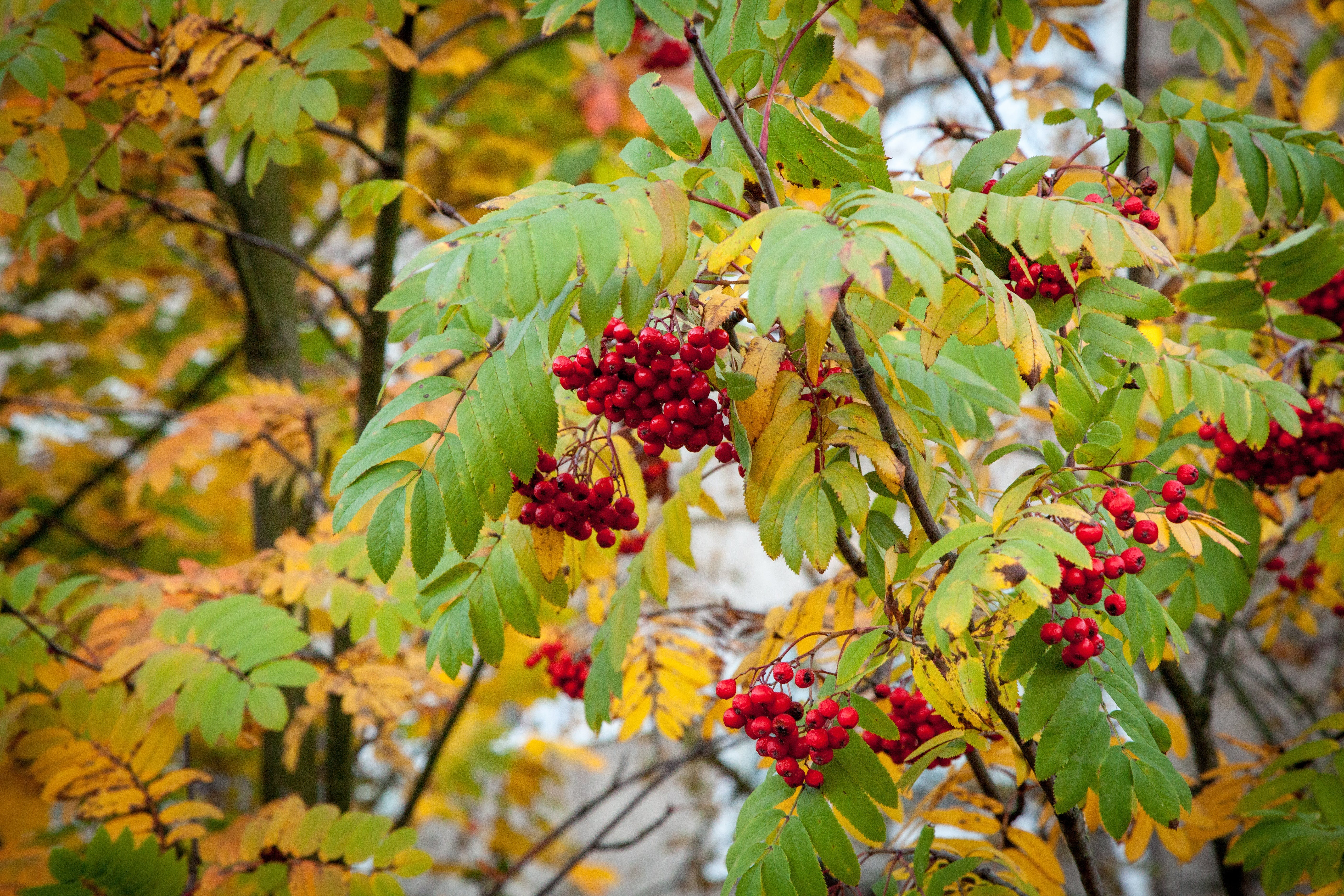 Free stock photo of healthy, nature, red, branches