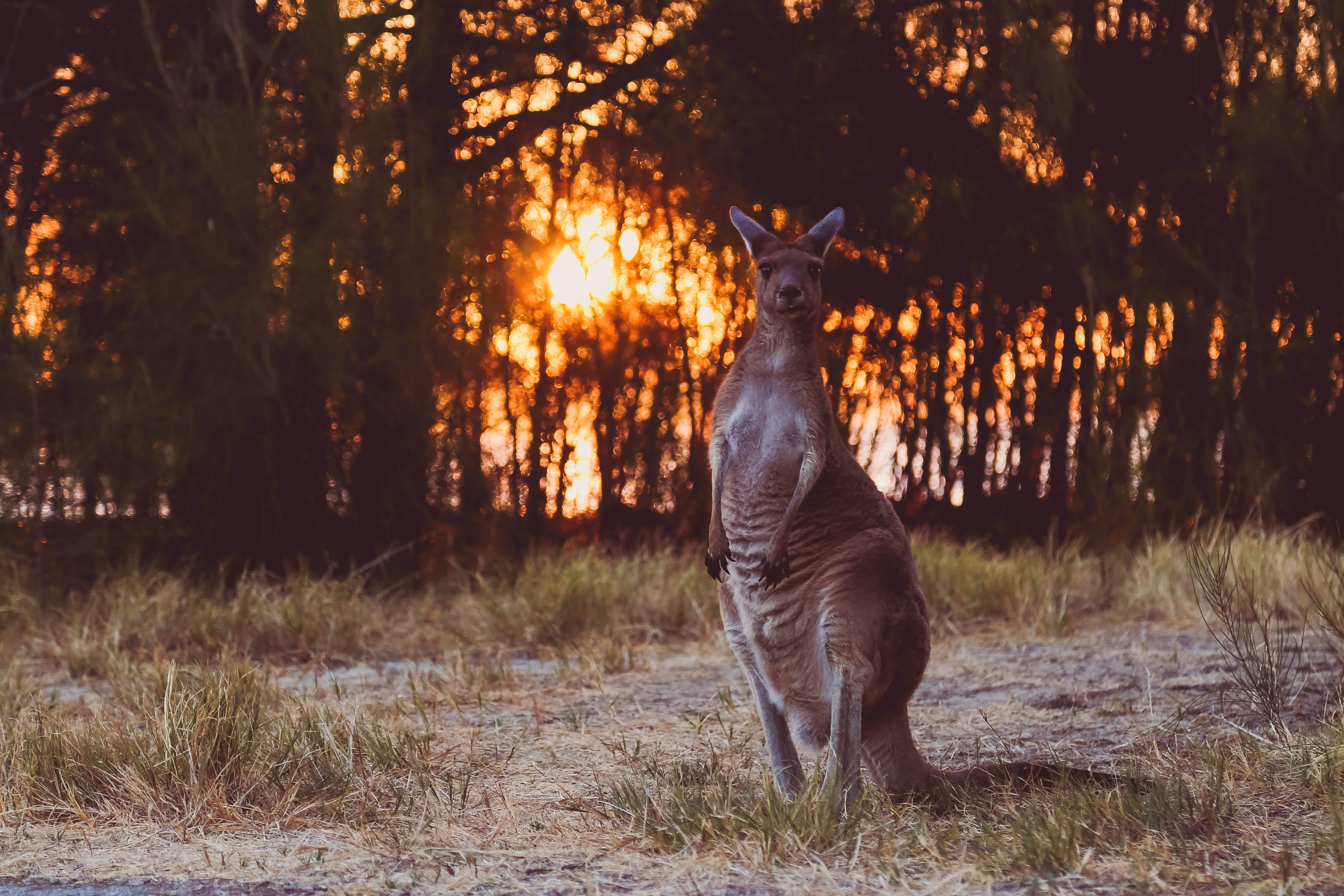 Gratis arkivbilde med kenguru, solnedgang