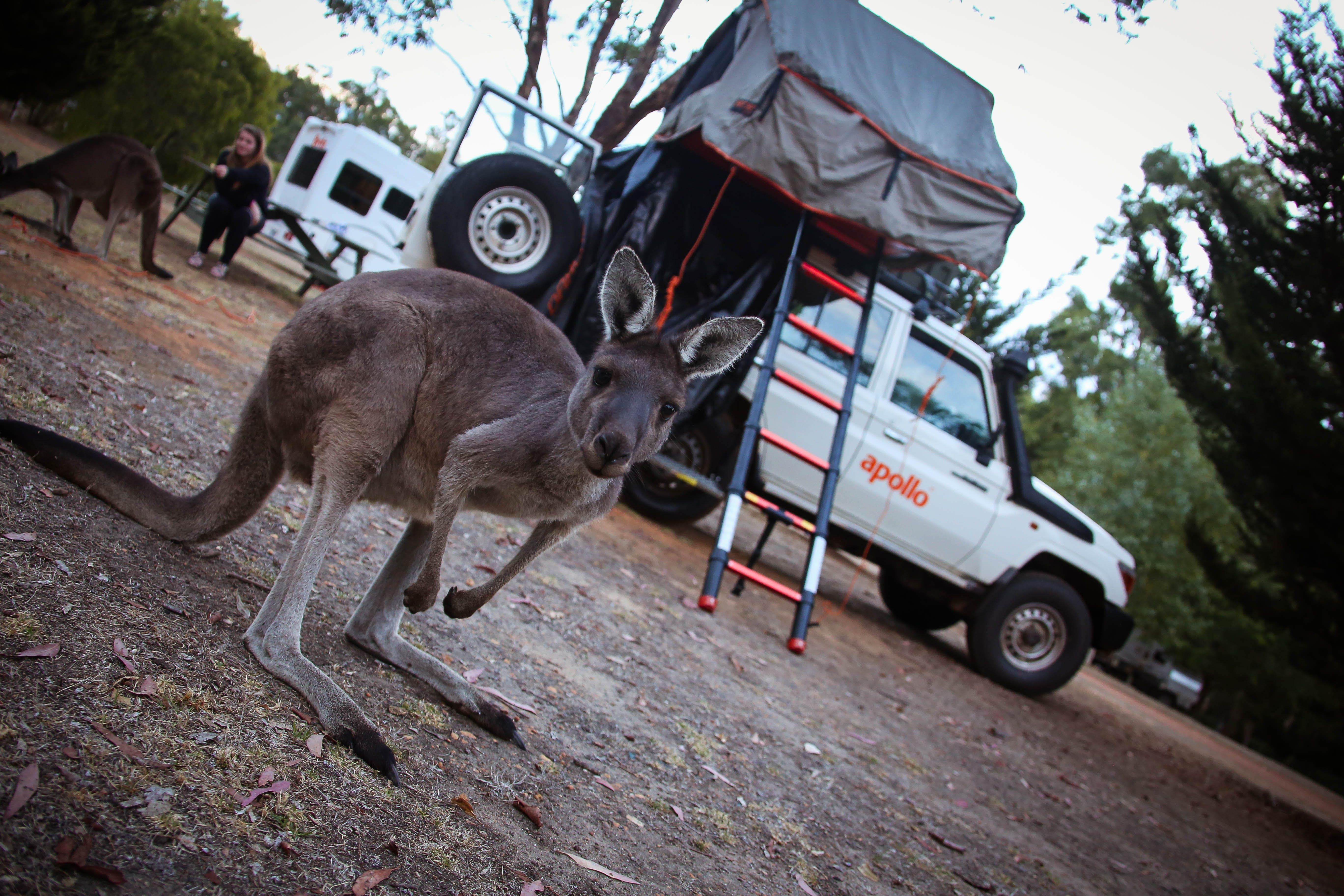 Gratis arkivbilde med apollo, camping, kenguru, taket telt