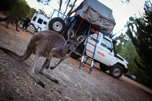 Free stock photo of apollo, camping, kangaroo, rooftop tent