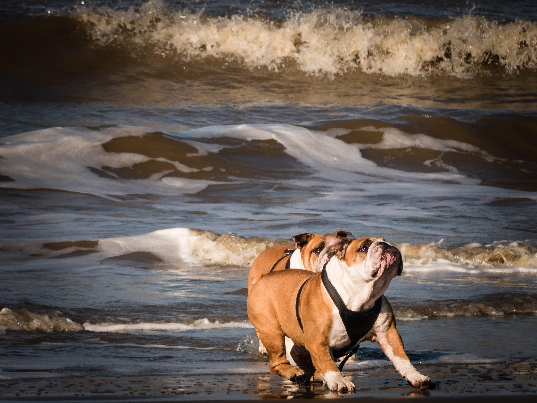 Two Adult Tan-and-white English Bulldogs on Seashore