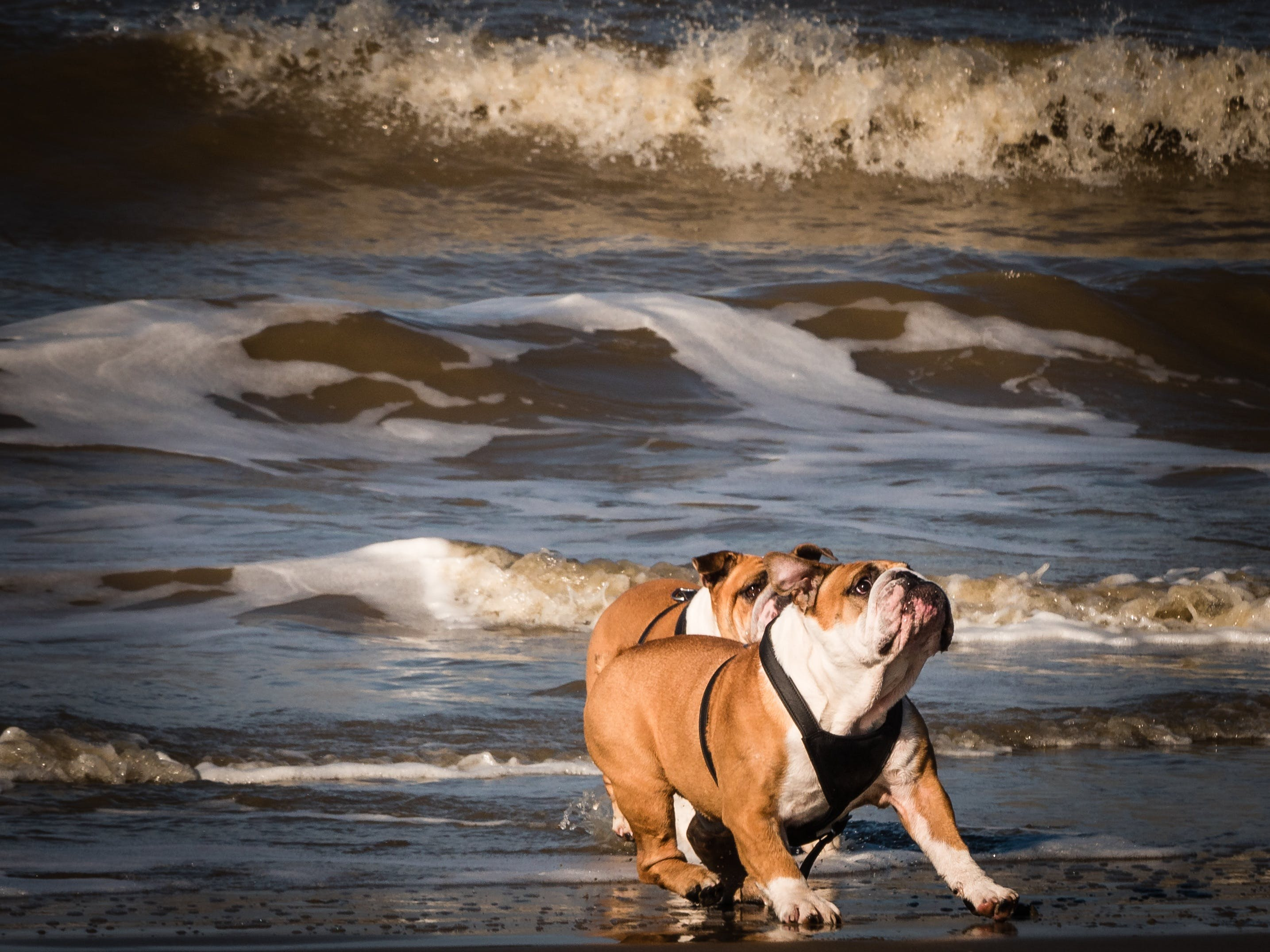 Two Adult Tan-and-white English Bulldogs on Seashore