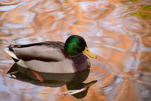 Black and Gray Duck on Body of Water