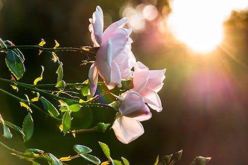 Macro Photo Pink Flowers