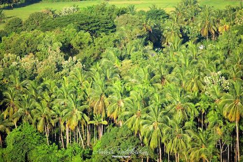 Kostnadsfri bild av kokospalmer