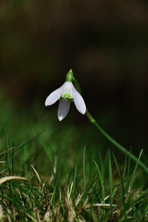 Fotobanka sbezplatnými fotkami na tému biely kvet, flóra, kvet, snežienka kvet